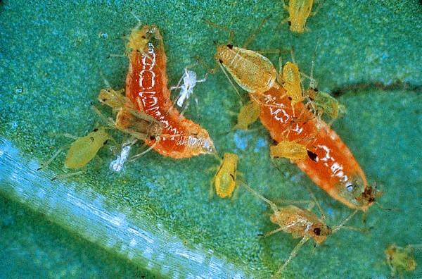 Räuberische Gallmücken